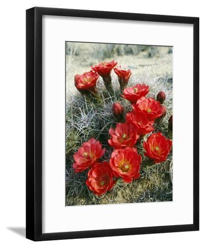 Claret Cup Cactus (Echinocereus Triglochidiatus) Flowers Blooming, Southwest, Usa-Jeff Foott-Framed Art Print