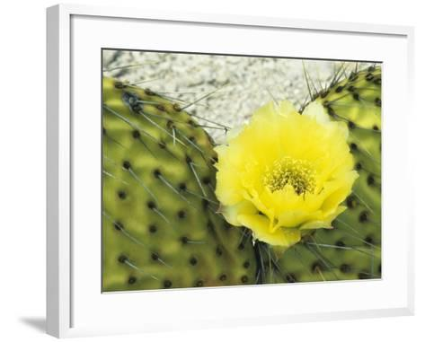 Detail of Bright Yellow Flower of a Prickly Pear Cactus (Opuntia) Isla San Francisco-Jeff Foott-Framed Art Print