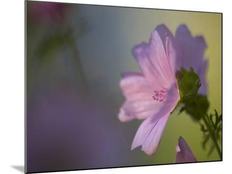 A Pink Flower--Mounted Photographic Print