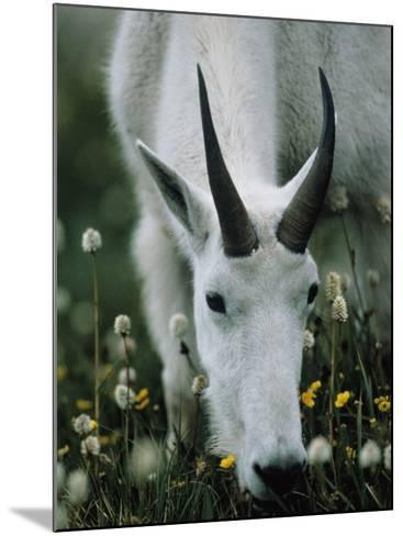 Young mountain goat eats alpine flowers, Mount Evans, Colorado, North America-Jeff Foott-Mounted Photographic Print