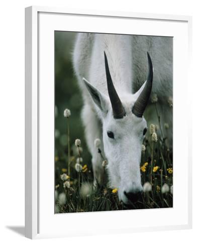 Young mountain goat eats alpine flowers, Mount Evans, Colorado, North America-Jeff Foott-Framed Art Print