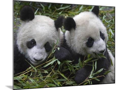 China, Sichuan Province, Wolong, Two Giant Pandas Eating Bamboo in the Bush-Keren Su-Mounted Photographic Print