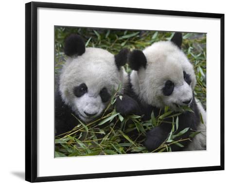 China, Sichuan Province, Wolong, Two Giant Pandas Eating Bamboo in the Bush-Keren Su-Framed Art Print