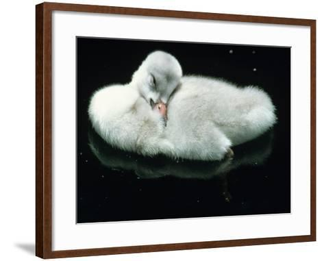 Close Up of Trumpeter Swan (Olor Buccinator) Cygnet Cleaning Feathers-Jeff Foott-Framed Art Print