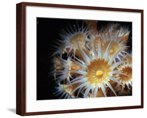 Close Up of Yellow Anemone (Epizoanthus Scotinus)-Jeff Foott-Framed Art Print