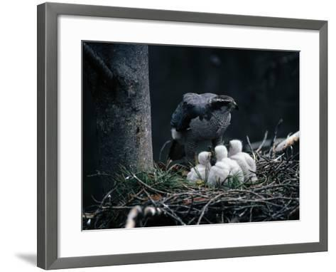 An Adult Goshawk at the Edge of a Nest with Three Chicks-Jeff Foott-Framed Art Print