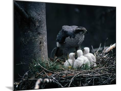 An Adult Goshawk at the Edge of a Nest with Three Chicks-Jeff Foott-Mounted Photographic Print