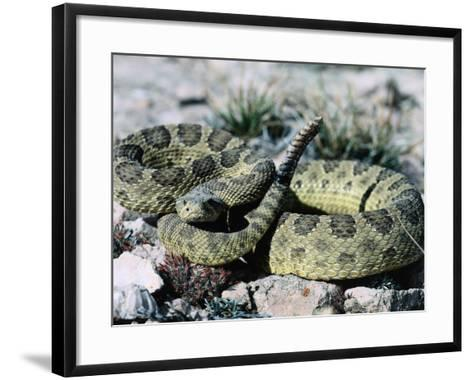Prairie Rattler Coiled in a Ball with its Tail Up-Jeff Foott-Framed Art Print