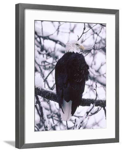 Bald Eagle Among Snow Covered Tree Branches-Jeff Foott-Framed Art Print