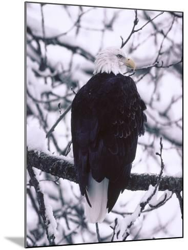 Bald Eagle Among Snow Covered Tree Branches-Jeff Foott-Mounted Photographic Print