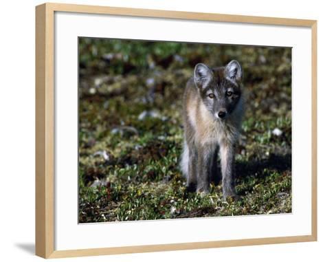 Arctic Fox Cubs Near Den Site-Jeff Foott-Framed Art Print