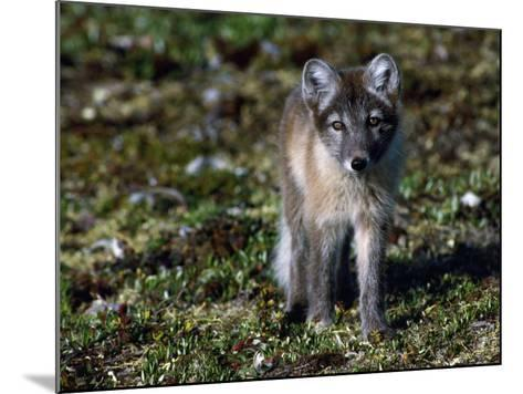 Arctic Fox Cubs Near Den Site-Jeff Foott-Mounted Photographic Print