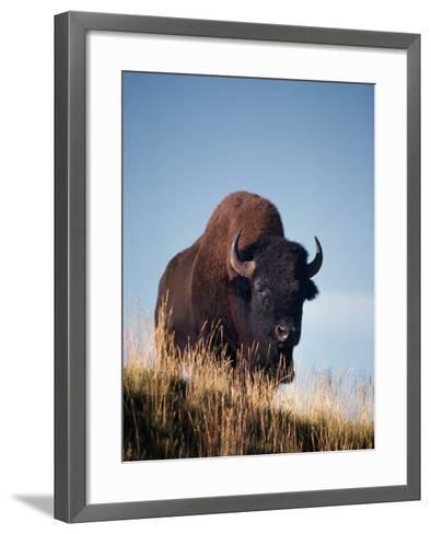 Bison Stands on Hill-Jeff Foott-Framed Art Print