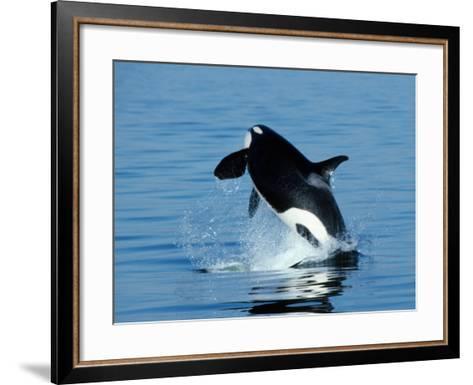 Killer Whale Female Breaching-Jeff Foott-Framed Art Print