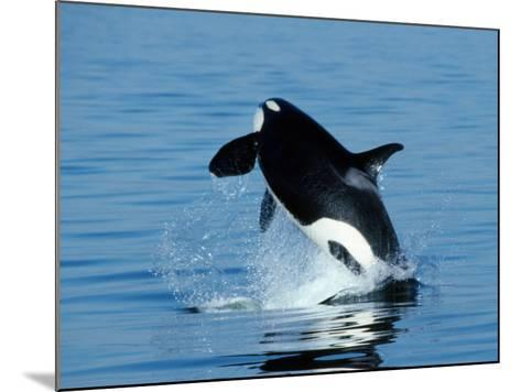 Killer Whale Female Breaching-Jeff Foott-Mounted Photographic Print