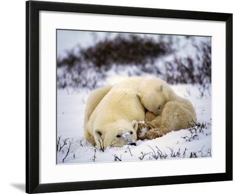 Polar Bear Female and First Year Cub {Ursus Maritimus} Canad-Jeff Foott-Framed Art Print