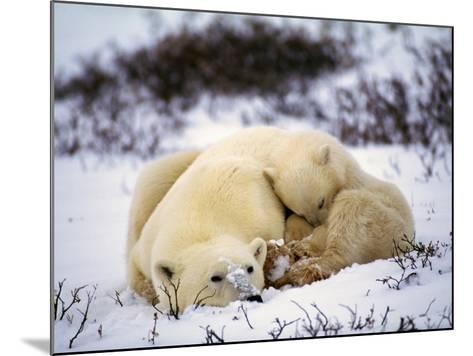 Polar Bear Female and First Year Cub {Ursus Maritimus} Canad-Jeff Foott-Mounted Photographic Print