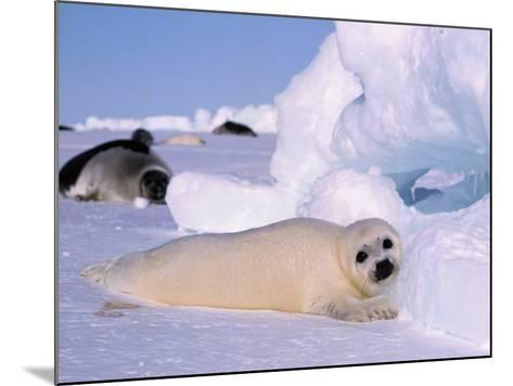 Harp Seal Pup-Jeff Foott-Mounted Photographic Print