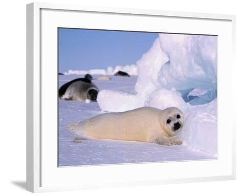 Harp Seal Pup-Jeff Foott-Framed Art Print
