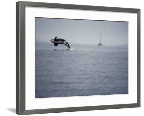Killer Whale Breaching in Air over Ocean, Boat in Background-Jeff Foott-Framed Art Print