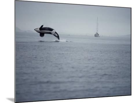 Killer Whale Breaching in Air over Ocean, Boat in Background-Jeff Foott-Mounted Photographic Print