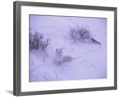 Arctic Fox Sits in the Snow-Jeff Foott-Framed Art Print
