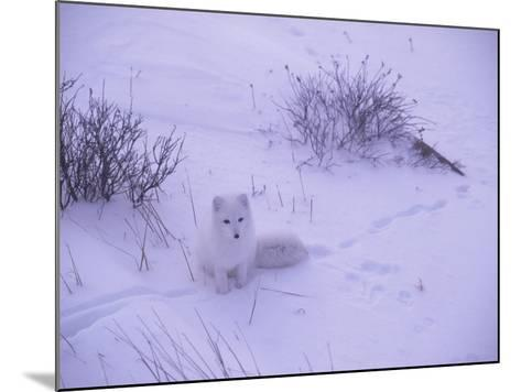 Arctic Fox Sits in the Snow-Jeff Foott-Mounted Photographic Print