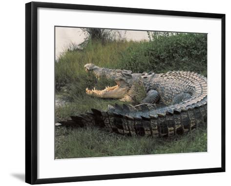 Close-Up of an Australian Saltwater Crocodile, Kakadu National Park, Australia (Crocodylus Porous)--Framed Art Print