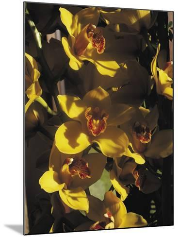 Close-Up of Orchid Flowers-C^ Sappa-Mounted Photographic Print