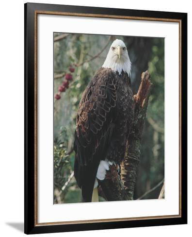 American Bald Eagle Perching on a Branch (Haliaetus Leucocephalus)--Framed Art Print