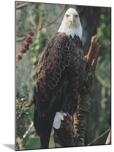 American Bald Eagle Perching on a Branch (Haliaetus Leucocephalus)--Mounted Photographic Print