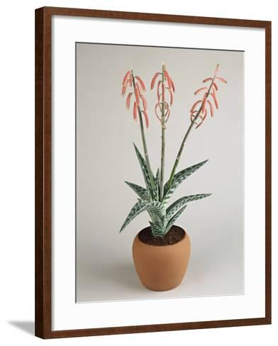 Close-Up of Coral Aloe Plant Growing in a Pot (Aloe Striata)-G^ Cigolini-Framed Art Print