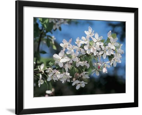 Close-Up of a Japanese Flowering Crabapple Tree ( Malus Floribunda)-S^ Montanari-Framed Art Print
