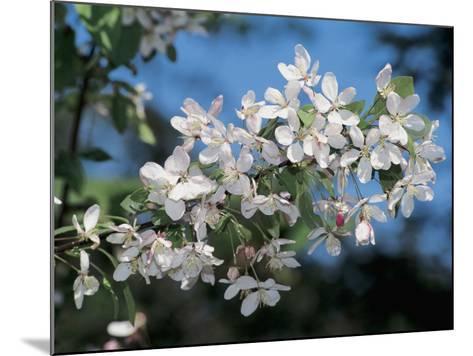 Close-Up of a Japanese Flowering Crabapple Tree ( Malus Floribunda)-S^ Montanari-Mounted Photographic Print