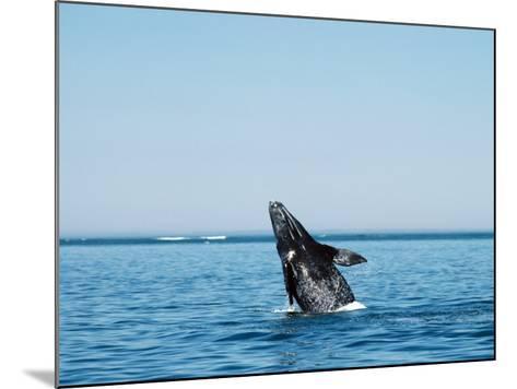 Gray Whale Calf, Eschrichtius Robustus, San Ignacio Lagoon, Baja California Sur,-Jeff Foott-Mounted Photographic Print