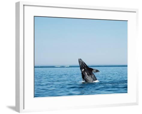 Gray Whale Calf, Eschrichtius Robustus, San Ignacio Lagoon, Baja California Sur,-Jeff Foott-Framed Art Print