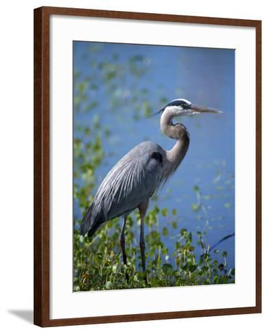 Great Blue Heron (Ardea Herodias) Standing at Water's Edge, Florida, Usa-Jeff Foott-Framed Art Print