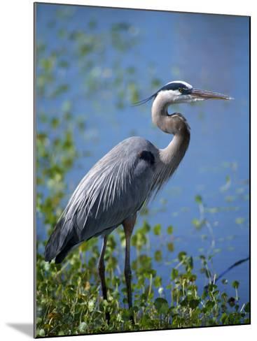 Great Blue Heron (Ardea Herodias) Standing at Water's Edge, Florida, Usa-Jeff Foott-Mounted Photographic Print