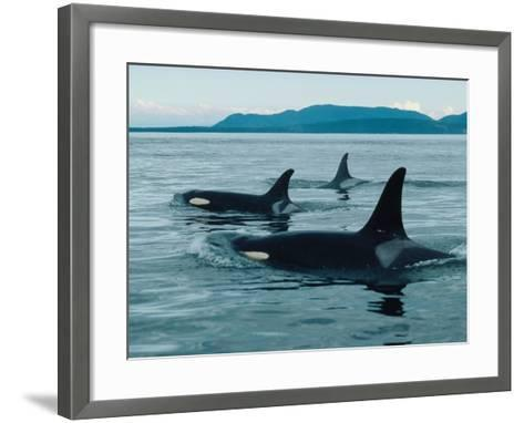 Group of Killer Whales Swim on Surface of Ocean with Mountains in the Background-Jeff Foott-Framed Art Print