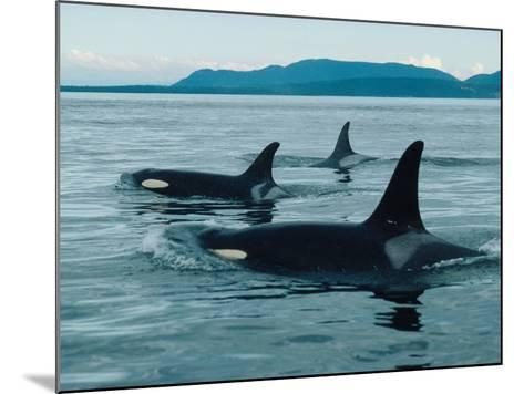 Group of Killer Whales Swim on Surface of Ocean with Mountains in the Background-Jeff Foott-Mounted Photographic Print