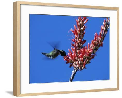 Costa's Hummingbird (Calypte Costae) Hovering by a Flower Blossom, Arizona, Usa-Jeff Foott-Framed Art Print