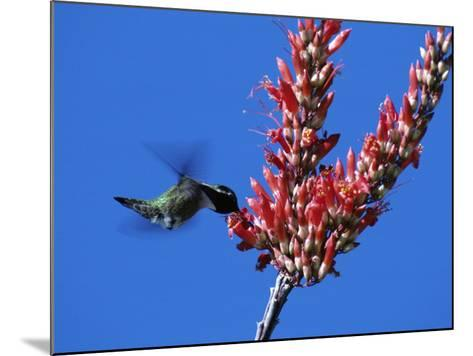 Costa's Hummingbird (Calypte Costae) Hovering by a Flower Blossom, Arizona, Usa-Jeff Foott-Mounted Photographic Print