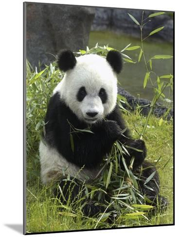 Tennessee, Memphis, a Giant Panda, on Loan to the Local Zoo, Enjoys a Snack of Bamboo Shoots-Karen Pulfer Focht-Mounted Photographic Print