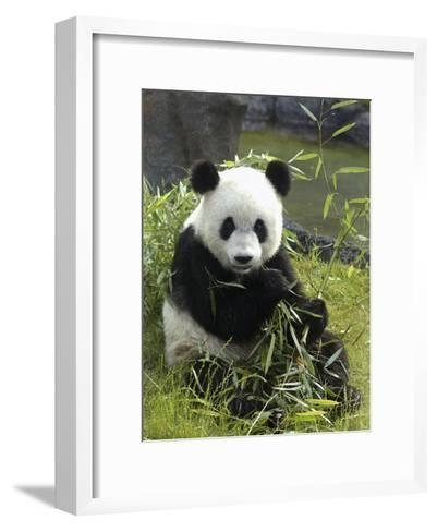 Tennessee, Memphis, a Giant Panda, on Loan to the Local Zoo, Enjoys a Snack of Bamboo Shoots-Karen Pulfer Focht-Framed Art Print