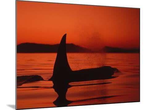 Killer Whale Swims on Surface, in Low Light, Spouting with Mountains in Background-Jeff Foott-Mounted Photographic Print