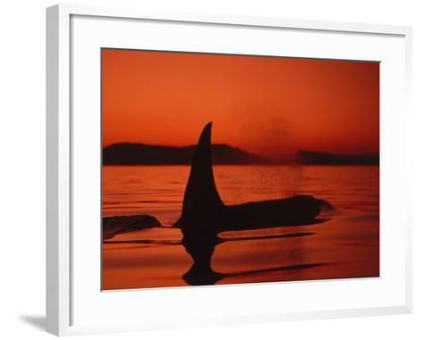 Killer Whale Swims on Surface, in Low Light, Spouting with Mountains in Background-Jeff Foott-Framed Art Print