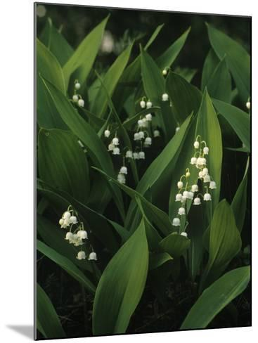 Small White Flowers with Big Green Leaves--Mounted Photographic Print