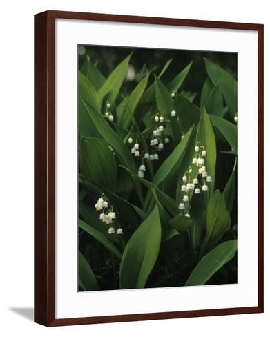 Small White Flowers with Big Green Leaves--Framed Art Print