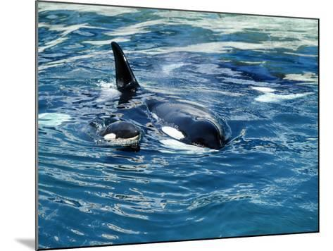 Killer Whale (Orcinus Orca) Mother with Calf-Jeff Foott-Mounted Photographic Print