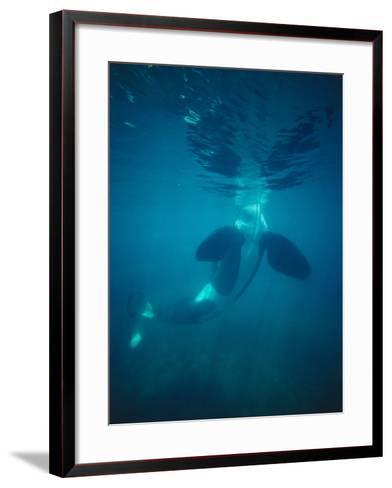 Killer Whale Submerged with Head Above Water-Jeff Foott-Framed Art Print